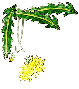 hand drawing of green and yellow dandelion with leaves